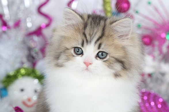 Golden & White Teacup Persian Kitten