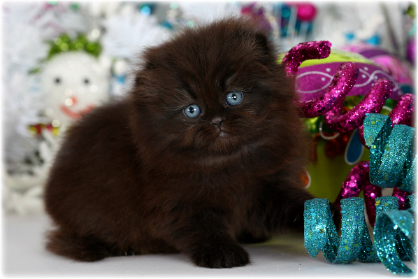 Black Floppy Eared Persian Kitten For Salepre Loved