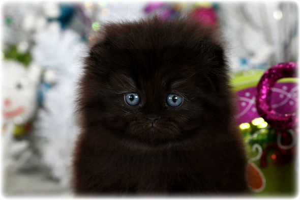Black Floppy Eared Persian Kitten