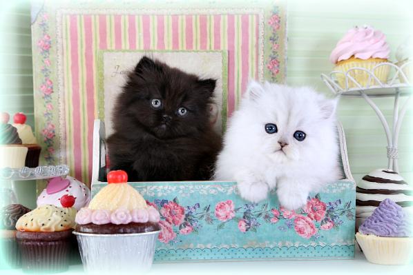 Persian Kitten Nursery