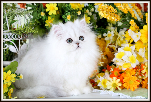 Silver Persian Kittens For Sale - Doll Face Persian