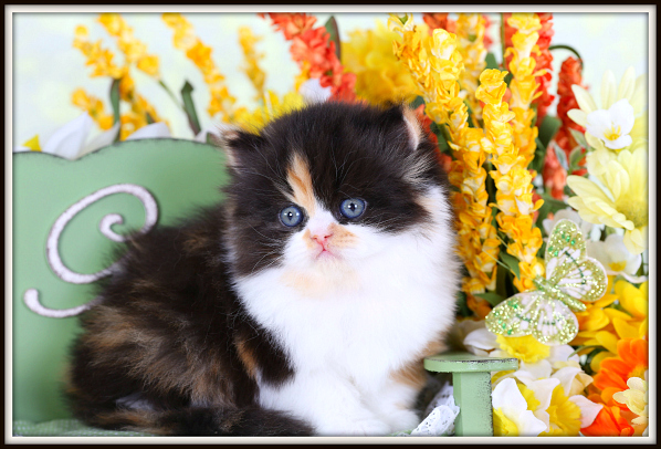 Calico Teacup Persian Kitten