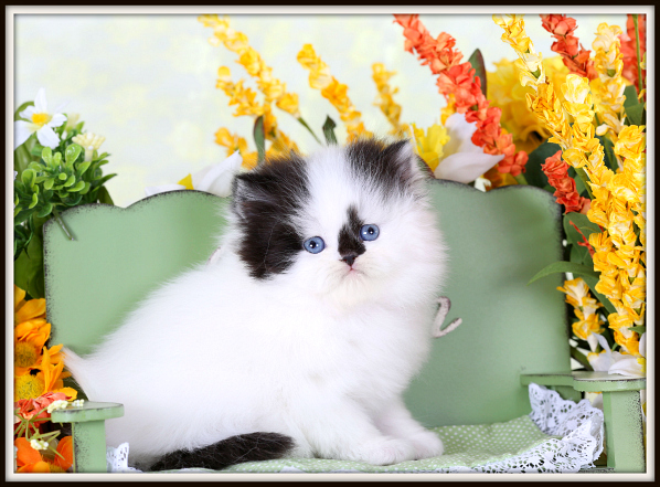 High White Black & White Persian Kitten