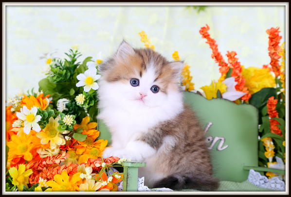 Shaded Golden Tabby & White Teacup Persian