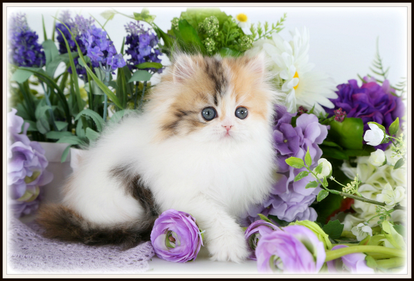 Doll Face Calico Persian Kitten