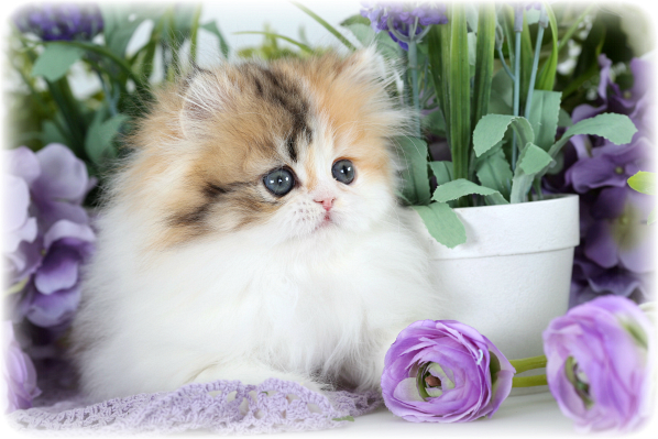 High White Calico Persian Kitten for Sale
