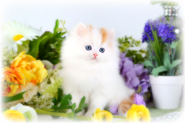 Red and white Bicolor Persian Kitten