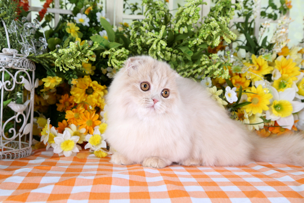 Rug Hugger Fold Teacup Persian Kitten