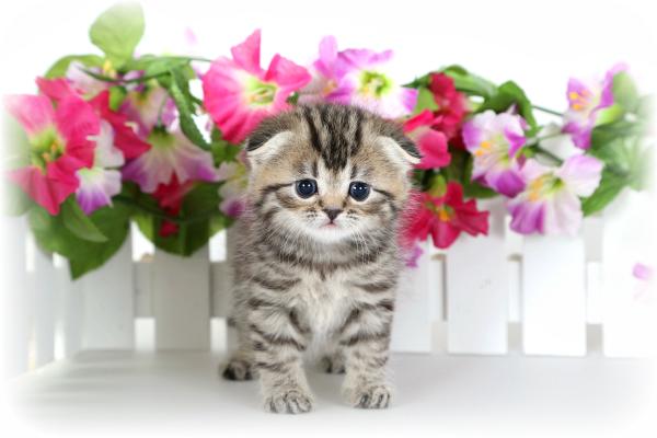 Floppy Eared Persian Kitten