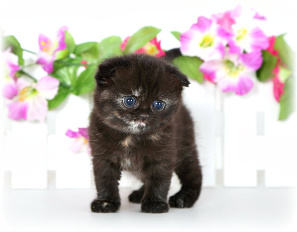 Exotic Short Hair Tortie Persian Kitten with Folded Ears