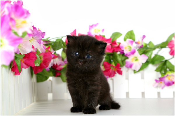 Black Exotic Short Haired Persian Kitten