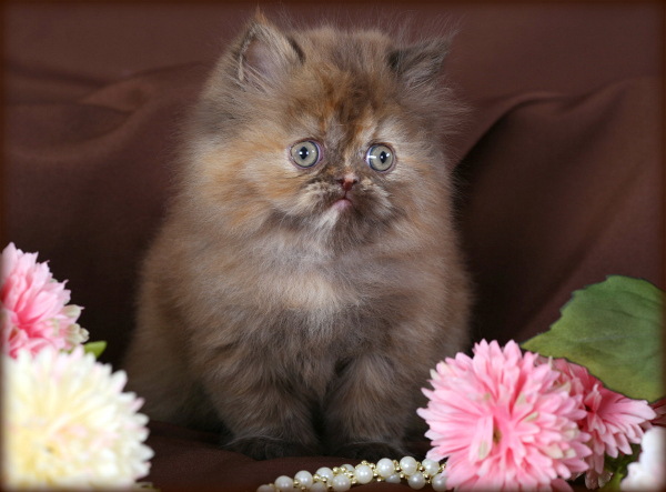 Chocolate Tortoiseshell Persian Kittens