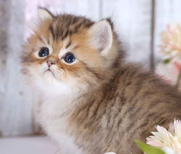Golden Persian Kittens
