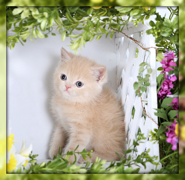 Doll Face Persian Kittens Exotic Shorthair Persian Kitten