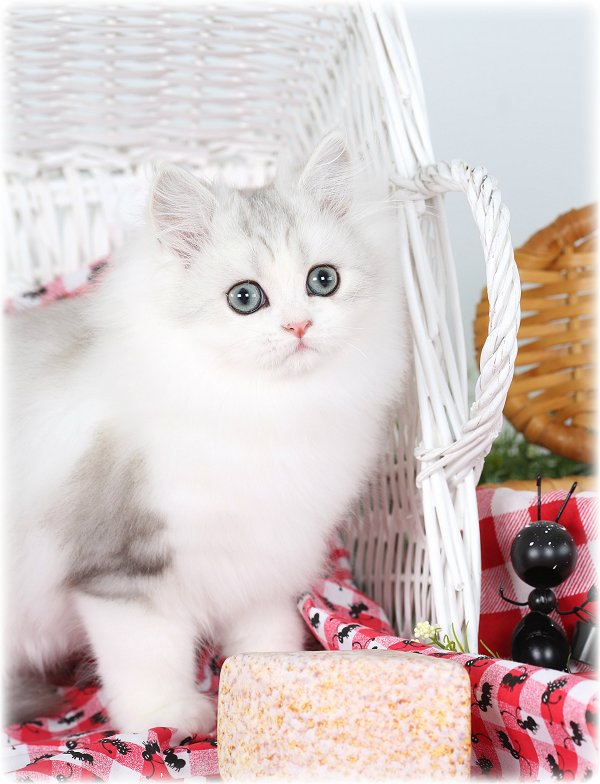 Silver and white bicolor Persian Kitten