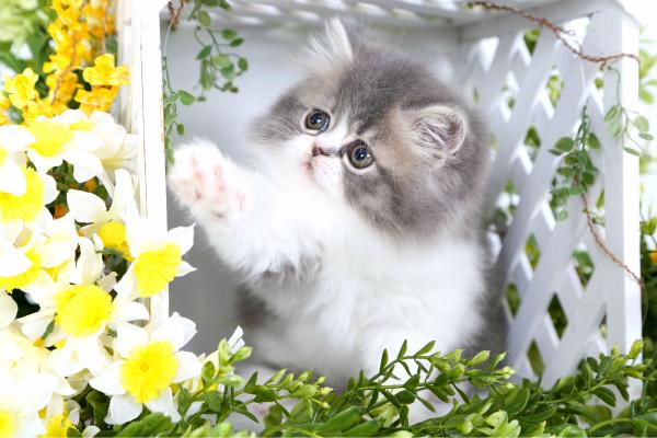 Blue Golden Tabby & White Persian Kitten