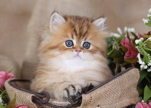 Golden Chinchilla Persian Kitten for Sale