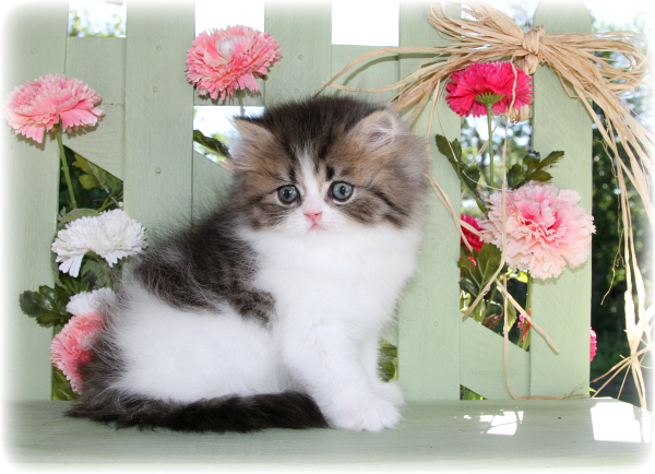 Tabby Persian with white Bicolor