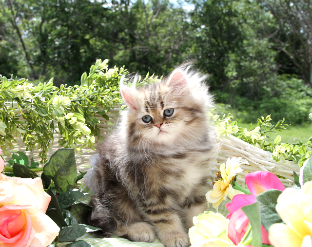 Shaded Golden Teacup Persian