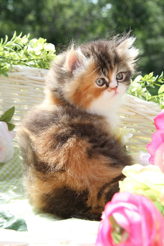 Levian Currently Availablepre Loved Persian Kittens For