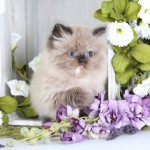 Doll Face Persian Kittens Reviews – The Komioti Family