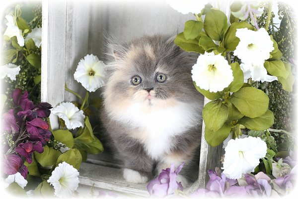 Teacup Dilute Calico Persian Kitten