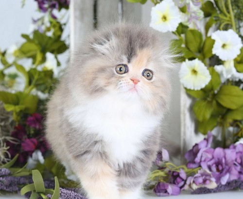 Persian Fold Kitten - Doll Face Persian Kittens