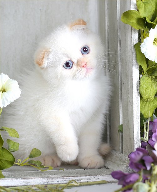 Himalayan Fold Kitten Exotic Shorthair