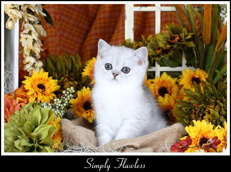 Doll Face Persian Kittens Exotic Shorthair Persian Kitten