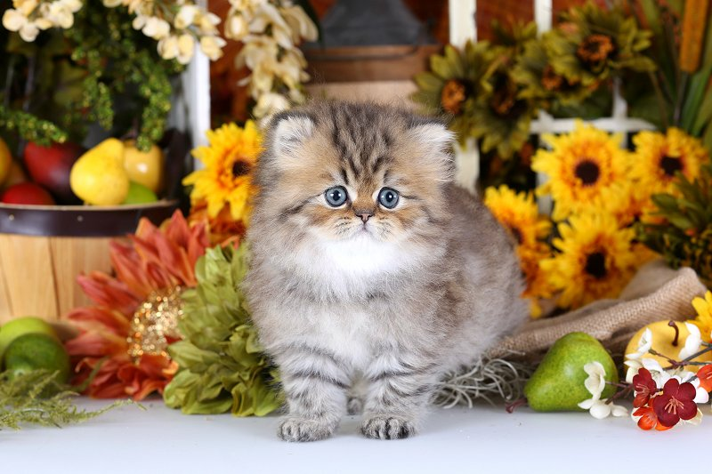 Doll Face Persian Kittens Reviews - Crowe Family