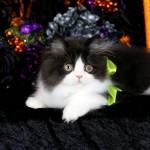 Black and white bicolor Persian Kitten Tuxedo Persian