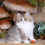 Shaded Golden and white bicolor Persian Kitten