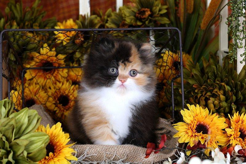 Teacup persian cat price in india
