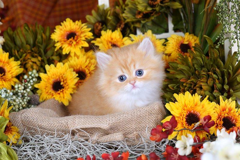 Red Teacup Persian Kitten
