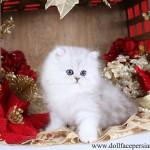 Silver Tipped Persian Kitten