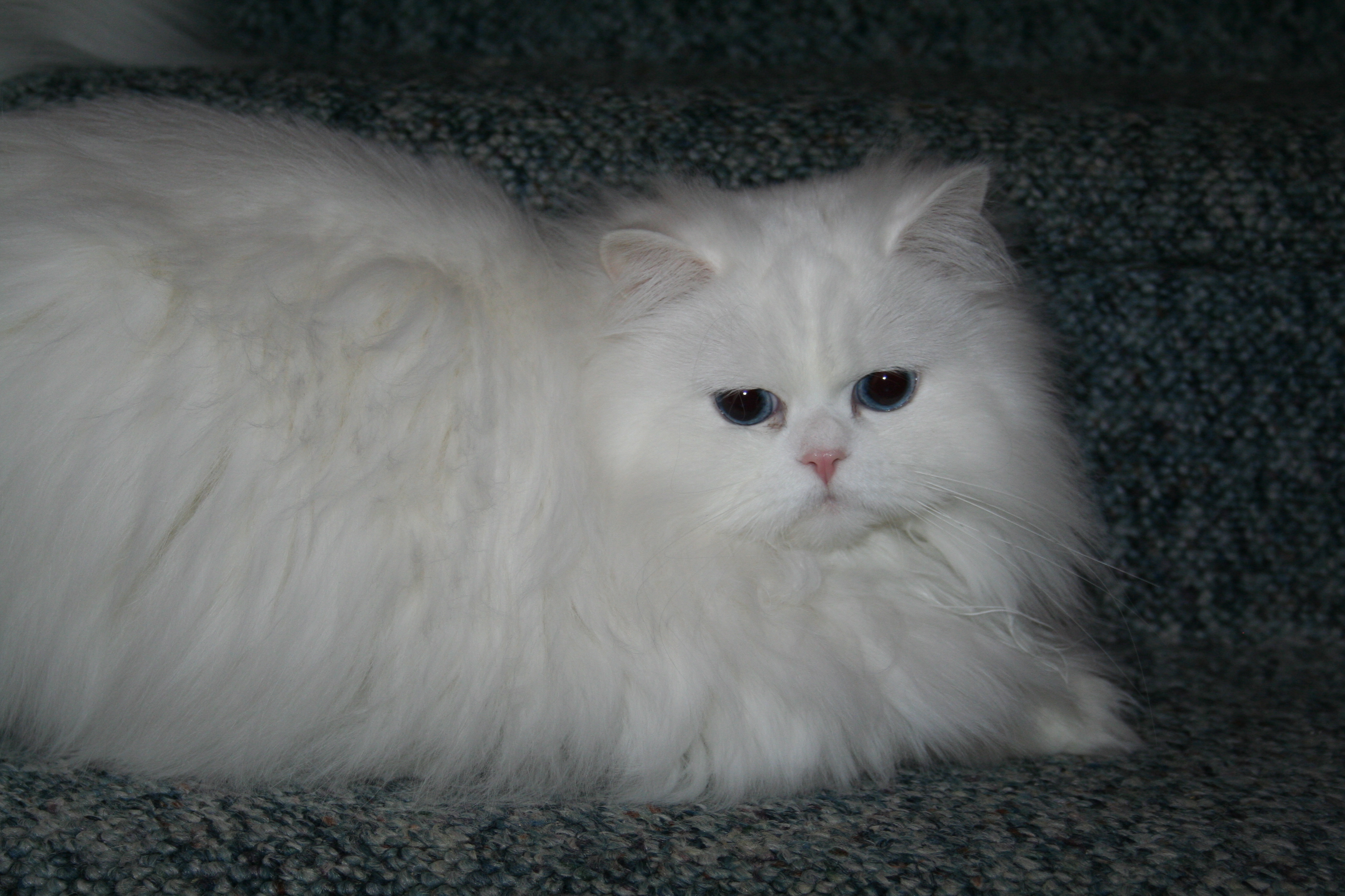 Doll Face Persian Kittens Reviews