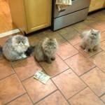 Doll Face Persian Kittens Reviews – The Lindgren Family