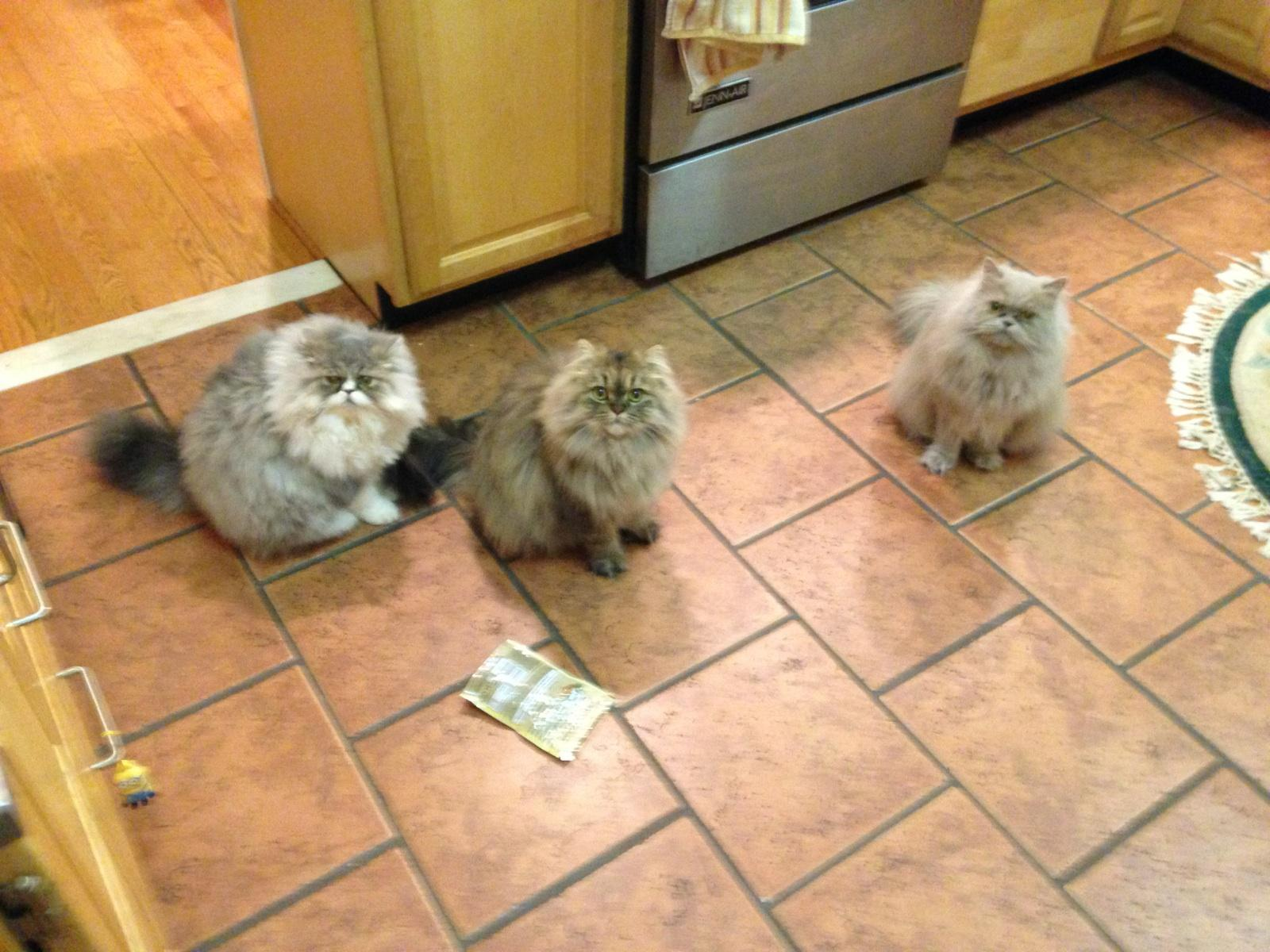 Doll Face Persian Kittens Reviews - Lindgren Family