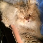 Doll Face Persian Kittens Reviews – The Markovich Family