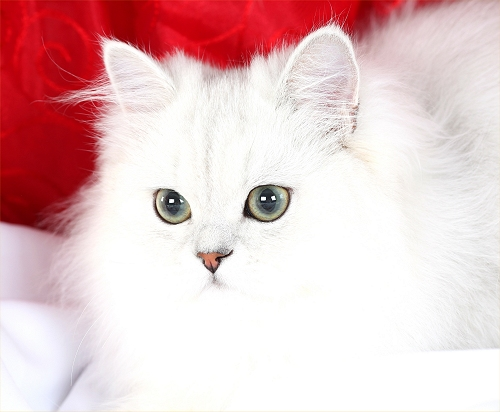 Doll Face Persian Kittens Reviews - Kruse Family