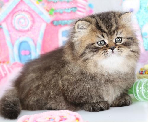 Golden Rug Hugger Kitten For Persian Kittenspre Loved Kittens 660 292 2222 1126 Shipping Available