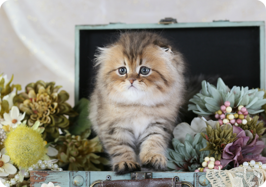 Shaded Golden Persian Fold Kitten