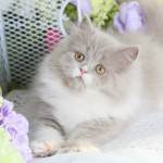 Lilac & White Bi-Color Persian Kitten
