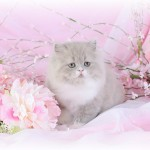 Lilac & White Persian Kitten