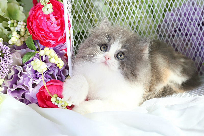 Dilute Calico Persian
