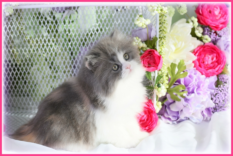 Persian Cats For Sale In Ohio