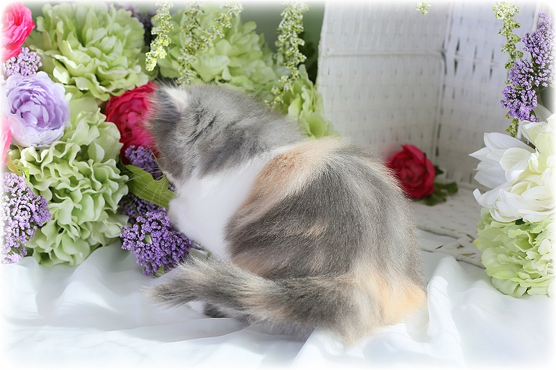 Dilute Calico