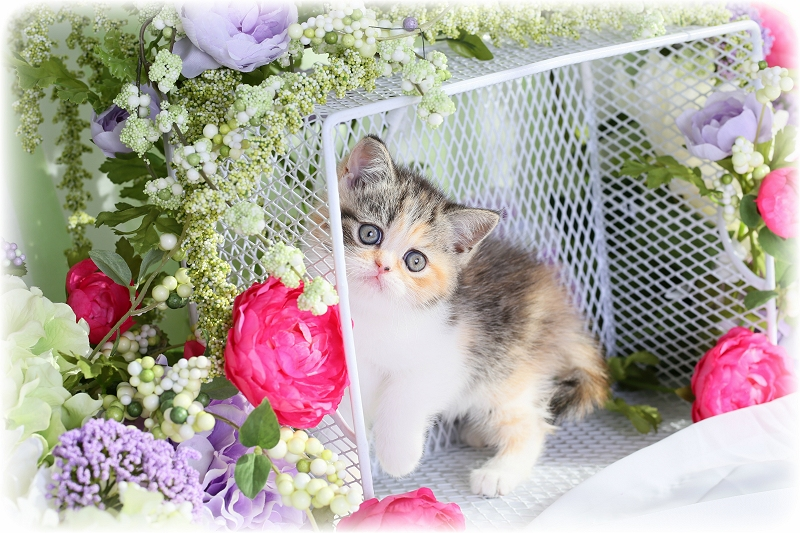 Calico Tabby Exotic Shorthair