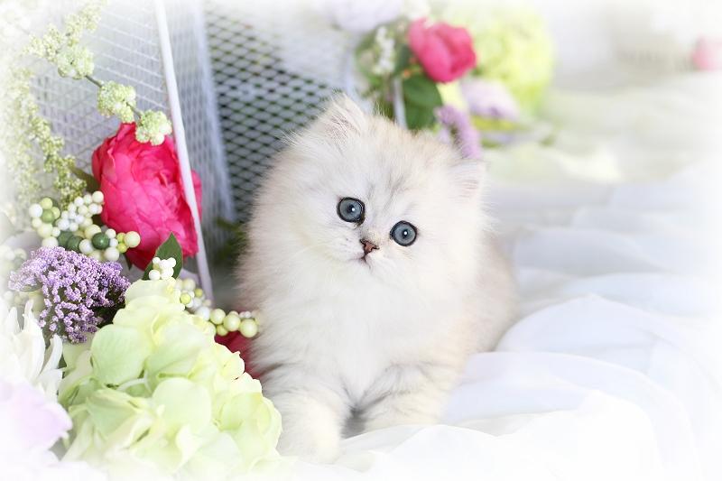 Silver Persian Kitten