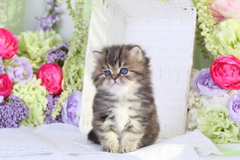 Shaded Golden Persian Kitten for Sale